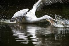 Great white pelican also known as the eastern white pelican Stock Photography