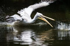 Free Great White Pelican Also Known As The Eastern White Pelican Stock Image - 114139101