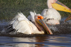 Great white pelican bathing, Lake Nakuru Stock Photo