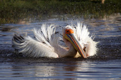 Great white pelican bathing, Lake Nakuru Royalty Free Stock Photography