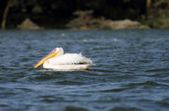 Great White Pelican with beautiful yellow bill Stock Image