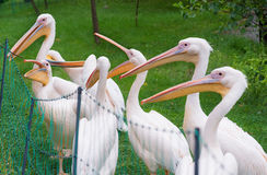 Great White Pelican Royalty Free Stock Image