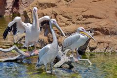Great White Pelican. On branch Stock Photo