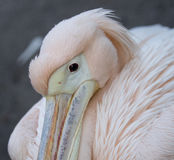 Great white Pelican close up. Huddling for warmth Royalty Free Stock Photo