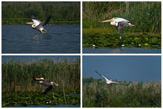 Great White Pelican collage. Great White Pelican (Pelecanus onocrotalus) collage Royalty Free Stock Image