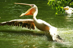 Great White Pelican Stock Photos