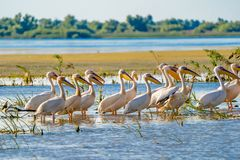 Great White Pelican colony sighted in the Danube Delta. Wildlife birds and birdwatching photography and a common sighting for tourists in the Danube Delta royalty free stock photography