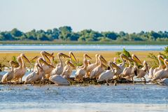 Great White Pelican colony sighted in the Danube Delta. Wildlife birds and birdwatching photography and a common sighting for tourists in the Danube Delta stock image