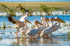 Great White Pelican colony sighted in the Danube Delta stock photos