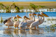 Great White Pelican colony sighted in the Danube Delta. Wildlife birds and birdwatching photography and a common sighting for tourists in the Danube Delta royalty free stock photos