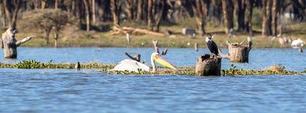 A great white pelican and a cormorant on Lake Naivasha stock image