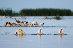 Great White Pelican fishing Stock Images