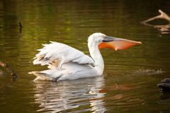 Great white pelican fishing stock photo