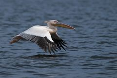 Great White Pelican in flight Royalty Free Stock Photos