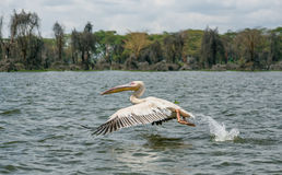 Great white pelican in flight at Lake Naivasha, Kenya Royalty Free Stock Photography