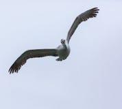 Great white pelican in flight Stock Photos