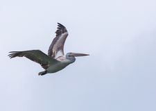 Great white pelican in flight Stock Photos