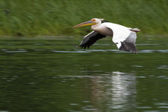 Great White Pelican in fligth Royalty Free Stock Image