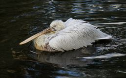 Great white pelican floating on the dark water Stock Photo