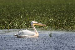 Great white pelican floating on natural pond Stock Photography