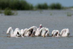 Great White Pelican Flock Royalty Free Stock Photos