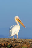 Great white pelican flying over the lake Royalty Free Stock Photos