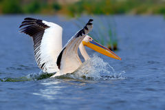 Great white pelican flying over the lake Royalty Free Stock Photography
