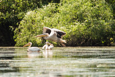 Great white pelican flying over the lake Royalty Free Stock Images