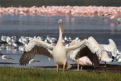 Great white pelican in front of flamingos Royalty Free Stock Images