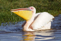 Great white pelican with a full beak, Lake Nakuru Royalty Free Stock Image
