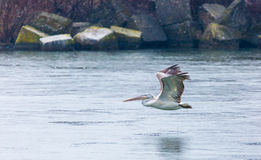 Great white pelican gliding over river Stock Images