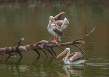 Great White Pelican group Royalty Free Stock Image