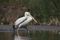 Great White Pelican from Gujarat, India. royalty free stock image