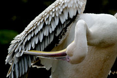 Free Great White Pelican Is Cleaning His Feathers With The Hook Of The Beak Royalty Free Stock Photo - 1364705