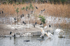 Great white pelican and jackdaw in lake. Bird Stock Photography