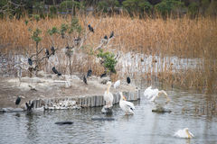Great white pelican and jackdaw in lake. Bird Royalty Free Stock Photo