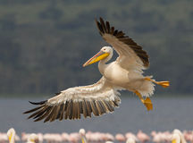 Great White Pelican, Kenya Royalty Free Stock Image