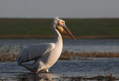 Great white pelican. On the lake Stock Images