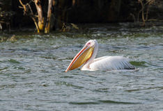 Great White Pelican with large beautiful yellow bill Stock Photography
