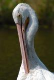 Great White Pelican. Lone pelican at a nature reserve/wildlife safari in Nebraska Royalty Free Stock Photos