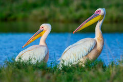 Great White Pelican Males royalty free stock photography