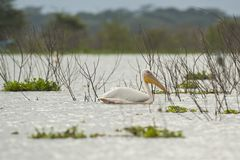 Great White Pelican on Naivasha Lake Stock Photos