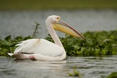 Great White Pelican on Naivasha Lake Royalty Free Stock Photos