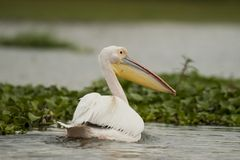 Great White Pelican on Naivasha Lake Royalty Free Stock Photography