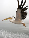Great White Pelican - Namibia Royalty Free Stock Photography