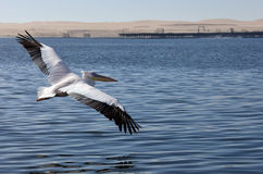Great White Pelican- Namibia Royalty Free Stock Photo