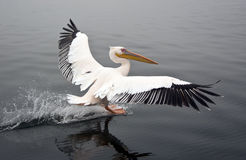 Great White Pelican - Namibia Stock Photography