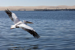 Great White Pelican - Namibia Royalty Free Stock Images