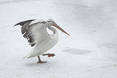 Great White Pelican On Ice Royalty Free Stock Photos
