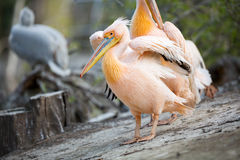 Great white pelican with open wings Stock Photo
